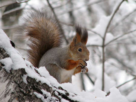 The squirrel sitting on a snow-covered birch