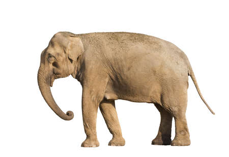 Standing brown elephant isolated over white background