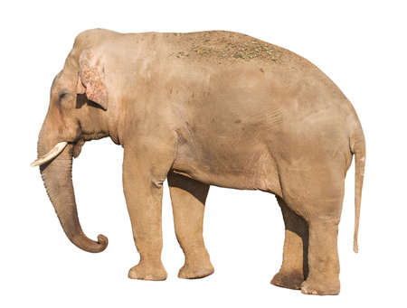 Standing brown elephant isolated over white background, with clipping path