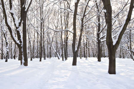 Trees covered with snow in a sunny day photo