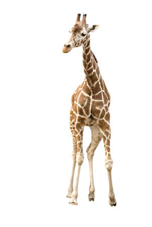 Photo of a giraffe isolated over white photo