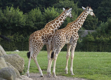 Two giraffes standing on green grass in a zoo Фото со стока