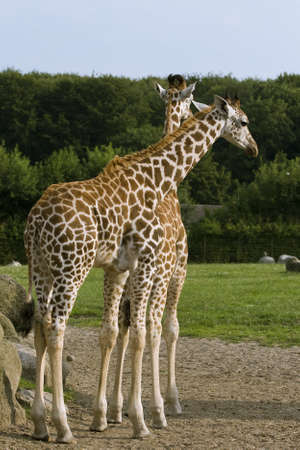 Two giraffes standing on green grass in a zoo Stock Photo - 10665764