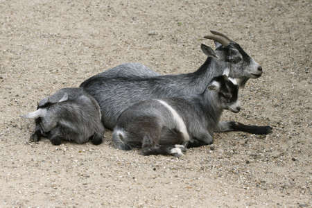 snuggle: Grey mother goat laying with her child Stock Photo