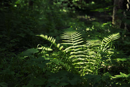 Fern brightly lit by sunrays amongst thick dark forest