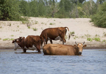 Cows drinking and swimming at a riverbank Stock Photo - 13557885