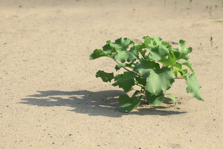 Plant growing in the sand adapted to the hot climate photo