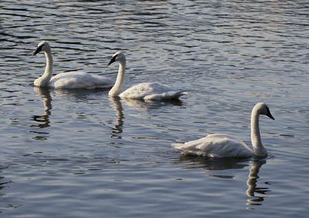 Three swans on a lake in the evening light photo