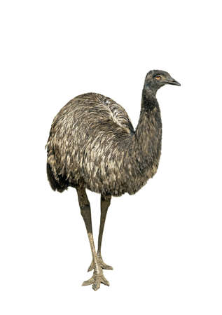 Ostrich emu isolated over white background
