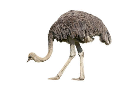 Ostrich emu isolated over white background photo