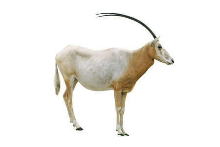 horned: Scimitar horned oryx aislado sobre fondo blanco Foto de archivo