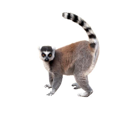 Lemur, profile view, isolated over white background Фото со стока