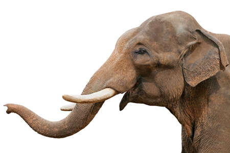 Head of an elephant, isolated Stock Photo