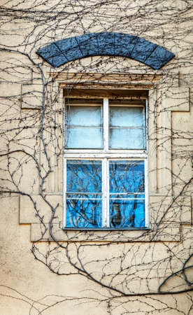 Window covered with ivy in winter