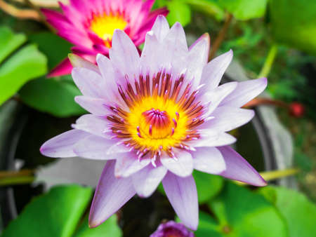 Purple and pink lotus flower on water  photo