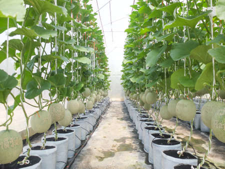 green fresh melons or cantaloupe plants growing in greenhouse organic hydroponics farm