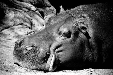 Hippo Imagens