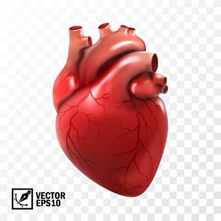 realistic vector isolated human heart. Anatomically correct heart with venous system