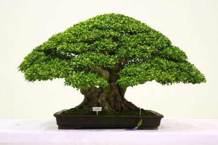 bonsai tree: Banyan or ficus bonsai tree .
