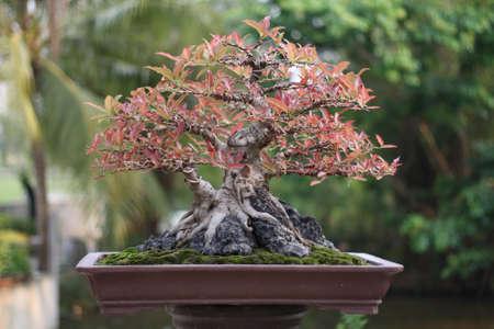 バンヤンやイチジク盆栽の木。