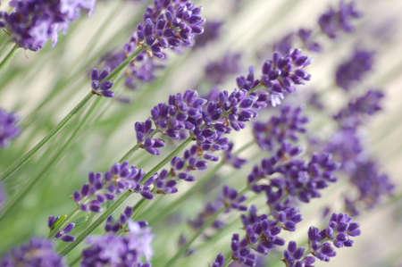 Purple flowers. Stock Photo - 8408181