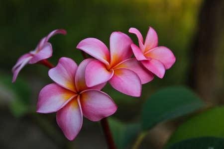Plumeria Flower Color Pink