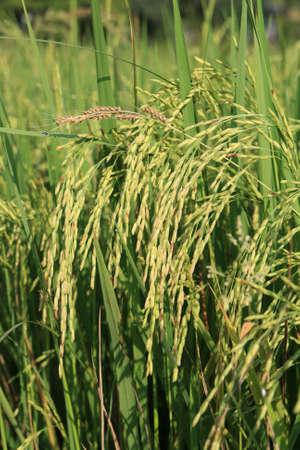 Green wheat  close up at spring. photo