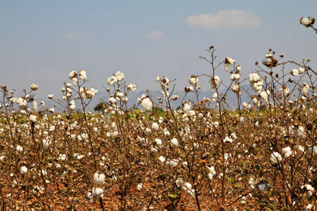 cotton plant: Cotton farms