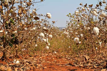 Cotton farms photo