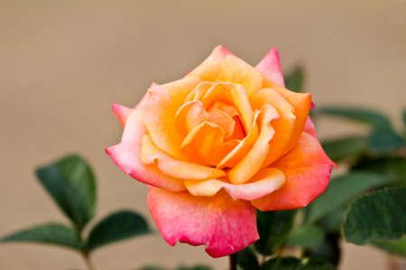 rosas naranjas: Hermosa rosa naranja en un jard�n