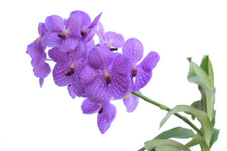 vanda: Blue orchid (vanda sansai blue) isolated on white