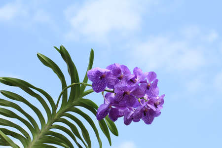 Blue orchid (vanda sansai blue) photo