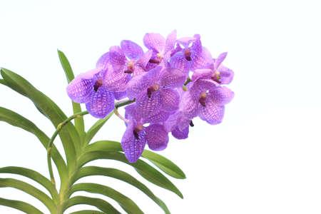 Blue orchid (vanda sansai blue) isolated on white photo