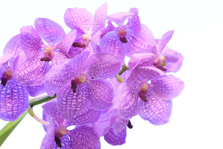 Blue orchid (vanda sansai blue) isolated on white photo