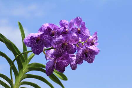 vanda: Blue orchid (vanda sansai blue)
