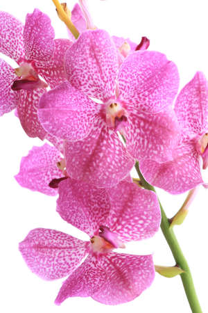 Pink orchid ( pink vanda ) isolated on white Stock Photo - 11941806