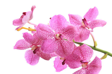Pink orchid ( pink vanda ) isolated on white photo