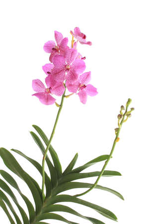 Pink orchid ( pink vanda ) isolated on white Stock Photo - 11825053