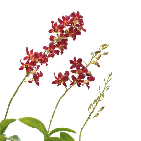 Red orchid  isolated on white  photo