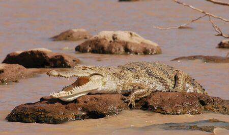 Crocodile lying on a rock in lake Baringo