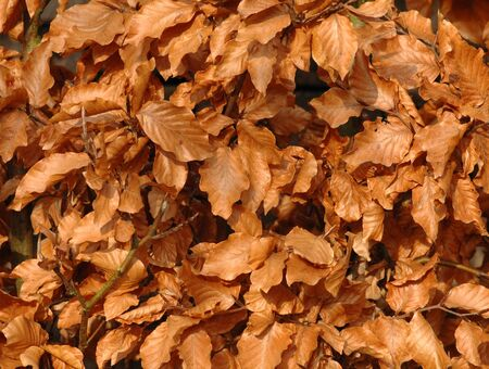 Leafs in the garden from a beech in autumn Stock Photo