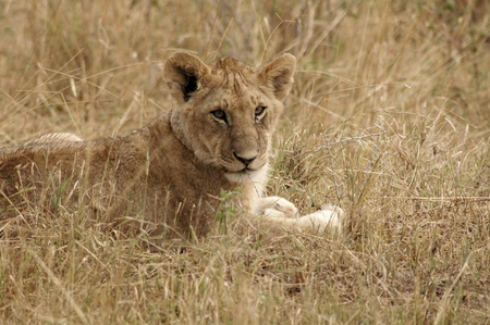 Young lion lying in the grass in the Masa Mara