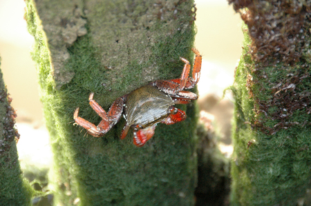 Freshawater crab sitting on a stake and eating
