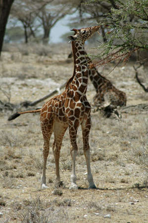 Young giraffe eating from a tree in the desert Stock Photo