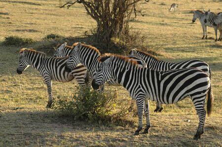 Zebras standing in the desert of Kenya
