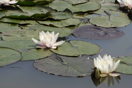 Water lily with green leafs in a pond