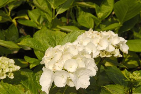 White flower in the garden with green leafs