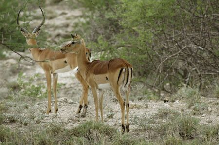 Two impalas listening if there is any danger Stock Photo