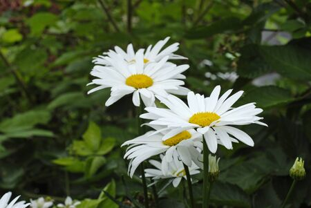 Beautiful white daisies with green leafs in the garden