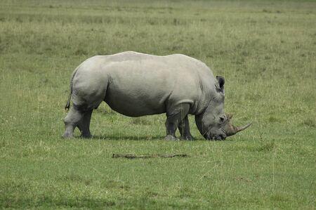 A white Rhinoceros eating grass in Africa Reklamní fotografie